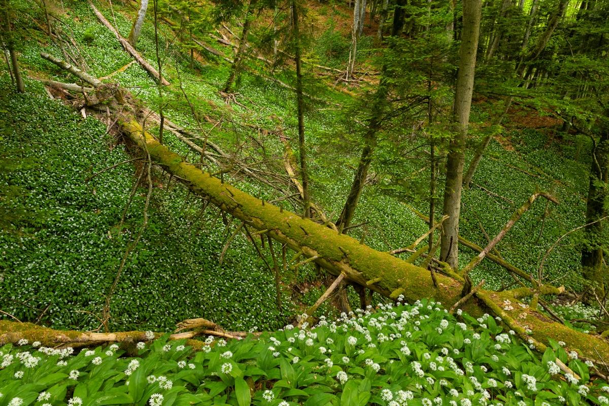 gefallener Baum in der Bärlauchblüte