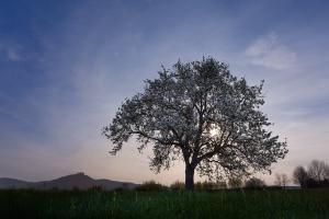Blühender Kirschbaum in einer hellen Mondnacht