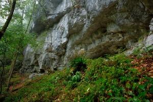 Hirschzungenfarn unter Felsen am Albtrauf