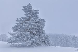 Kiefer bei Schneefall im Hersfeld