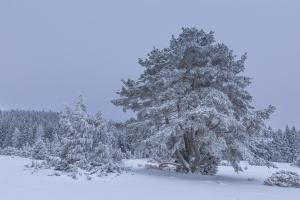 Kiefer und Wacholder im winterlichen Hersfeld