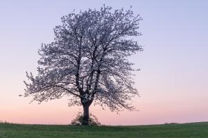 Blühender Kirschbaum bei Owen