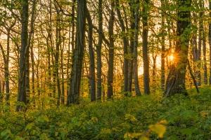 Sonnenstrern im Wald des Jusi