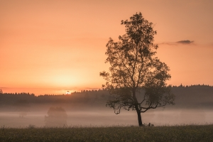 Birke vor Bodennebel bei Sonnenaufgang