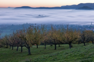Streuobstbäume vor dem Nebelmeer