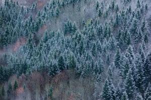 Nadelbäume mit Schnee am Alb-Hang