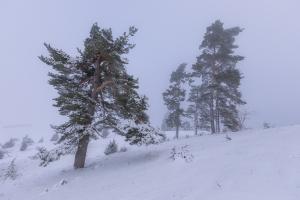 Winterliche Kiefern am Kornbühl