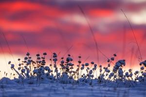 Verschneite Pflanzen vor dem Morgenhimmel