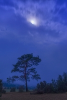 Mond über einer Kiefer