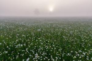 Margeritenwiese im Nebel