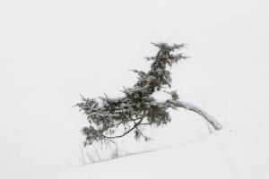 Winterlicher Wacholder