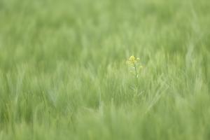 Rapsblüte im Getreidefeld