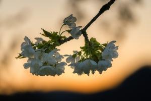 Kirschblüten vor dem Albtrauf