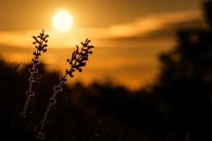 Sonnenaufgang mit Wiesen-Salbei