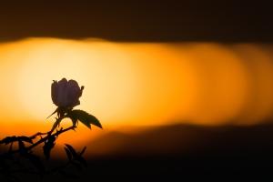 Wildrose vor einem schmalen Sonnenband am Albtrauf