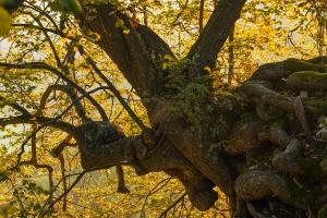 Charakterbaum am Albtrauf