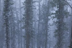 Winterbäume mit Efeu