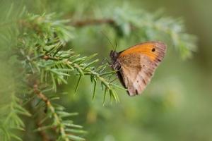 Schmetterling am Wacholderstrauch
